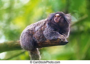 Common Marmoset Callithrix jacchus sitting in a tree