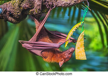 Malayan bat hanging on a tree branch - Malayan bat eating...