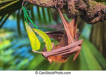 Malayan bat hanging on a tree branch - Malayan bat eating...