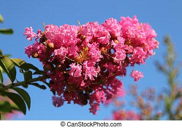Oleander - Beautiful pink oleander flower in summer