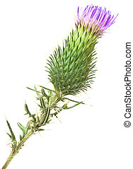 Bur Cutout - Burdock Blooming Bud Isolated on White...