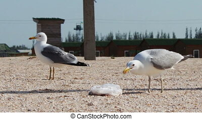 Lots of seagulls on the beach eating a meal and shout at each other on the background of sea and blue sky.