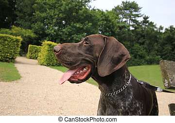 German Shorthaired Pointer - German shorthaired Pointer, 10...