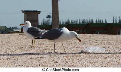 Lots of seagulls on the beach eating a meal and shout at...