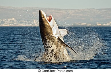 Great White Shark (Carcharodon carcharias) breaching in an...