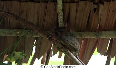 Smiling cute tarsier sitting on a tree, Bohol island,...