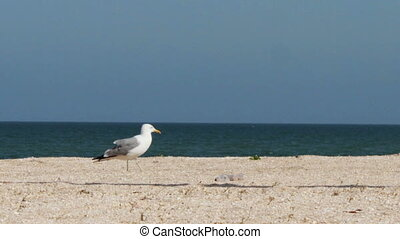 Seagull on the beach, stands and walks on the beach by the...
