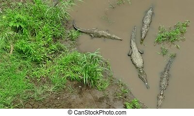 Crocodiles Animals Reptiles River - American crocodiles...
