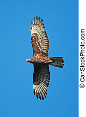 European Honey Buzzard Pernis apivorus - European Honey...