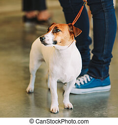 White small dog jack russell terrier
