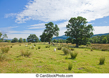 Sheep grazing on marshy plain between Loch Tay and...