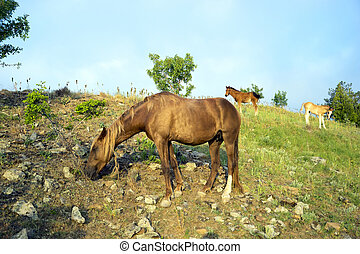 Horse and two colts - Horses grazing in the mountains early...