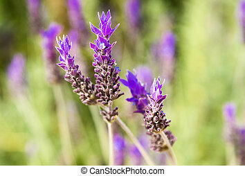 lavender flowers in the field