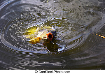 Catching carp bait in the water close up - Catching carp...