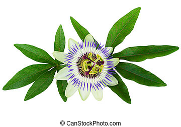 Passion Flower Passiflora isolated clipping path included