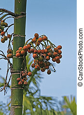 Areca catechu, Betel palm or Betel nut tree, Miao, Arunachal...