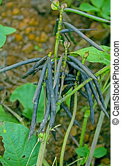 Pods of Vigna radiata, Mung bean, Green gram, India
