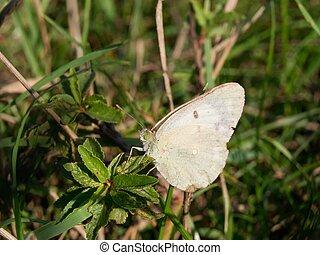 Rape Butterfly (Pieris napi) pieridae belonging to the...