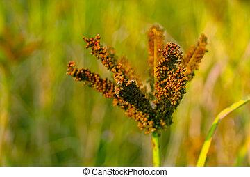 Ragi, Nachni, Finger Millet, Eleusine Coracana Crops In...