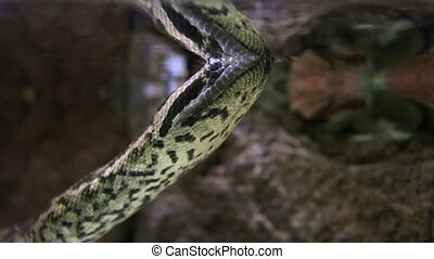 Anaconda snake underwater in tropical rainforest swamp.