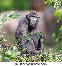 Adult Celebes crested Macaque in a tree