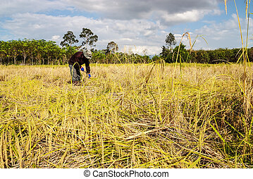 Asia farmers harvesting rice in rice field