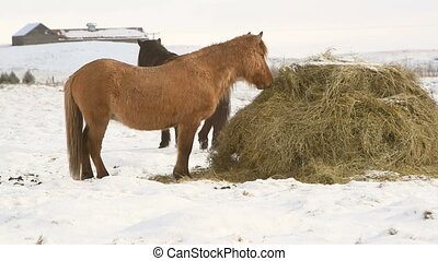 Icelandic horses eat hay in wintert - Two Icelandic horses...