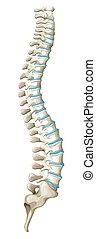 Spine diagram showing back pain illustration