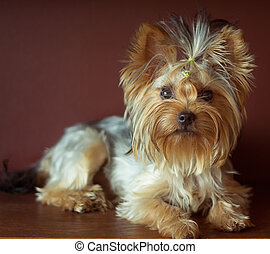 Yorkshire terrier with braided ponytail on head lying....