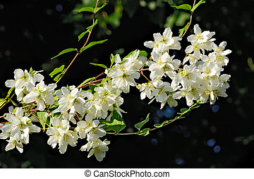 Flowered mock orange (Philadelphus) - Flowers mock orange...