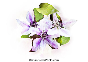 Watercolor Clematis flowers - Illustration of Clematis...