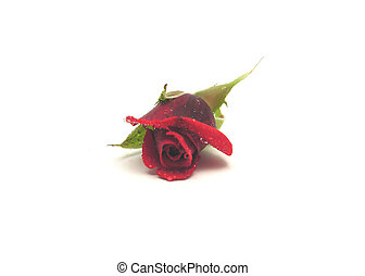 One red rose with water drops on white background