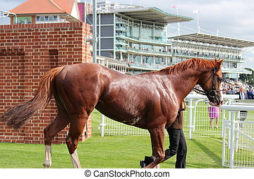 Racehorse After the Race. - Racehorse being cooled down,...