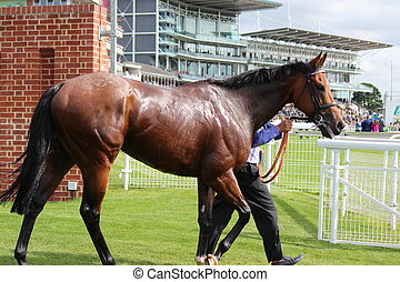 Racehorse After the Race - Racehorse being cooled down,...