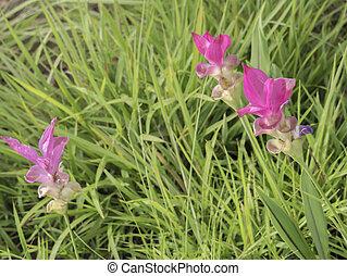 Siam Tulip flower 5 - Siam Tulip flower in Pa Hin Ngam...