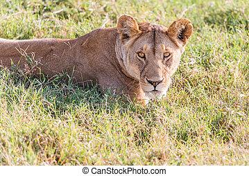 Lion  in Serengeti National Park in Tanzania.