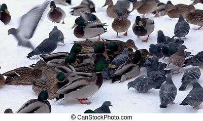 ducks feed on snow