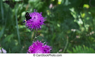Black Butterfly with white circles on a purple flower. -...