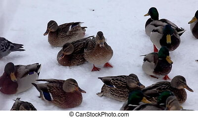 pan on ducks feed on snow