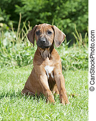 Pure breed Rhodesian Ridgeback puppy dog outdoors - Pure...