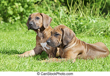 Short haired Rhodesian Ridgeback puppies outdoors - Short...