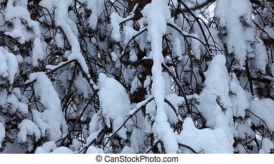 conifer branch under snow close up