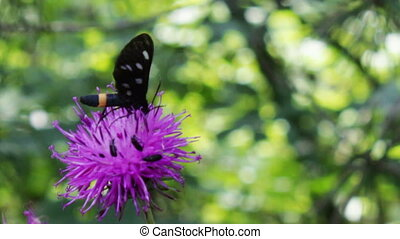 Black Butterfly with white circles on a purple flower -...