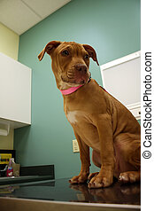 pit bull puppy gets his first vet exam