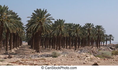 Plantation of palm trees at Ein Gedi in the Dead Sea area,...