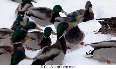 Ducks fight for food