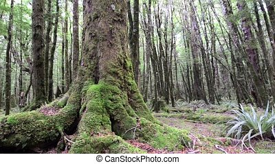 Rain forest in Fiordland New Zealand South Island