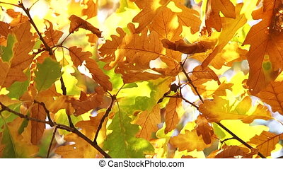 Oak Leaves In Autumn Colours Moved My Wind - This is a...