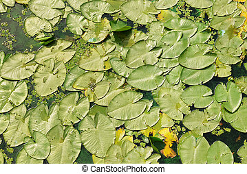 Lily pads - Green lily pads on the water of pond