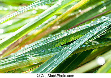 Beautiful green lemongrass leaf background with water drop